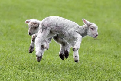 www lambs
